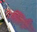 В антарктических водах поймали 350 килограммового кальмара