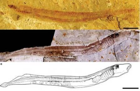 Миноги не меняются уже 125 млн лет
