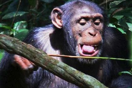От зависти и нужды шимпанзе изобрели ловушку для агрессивных муравьев