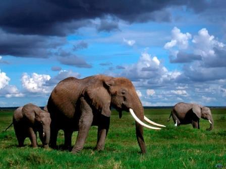 Африканские слоны слышат шум дождя за 100 километров