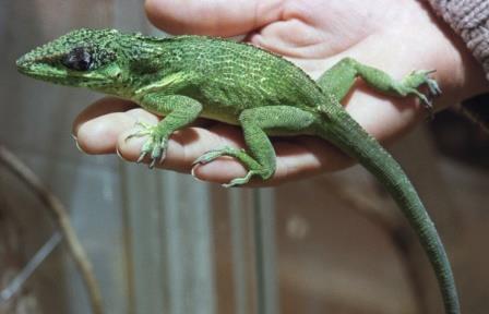 Ящерицы из Флориды за 15 лет эволюционировали под влиянием своих кубинских сородичей