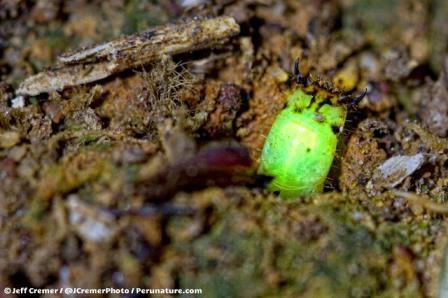 Странный червь-светлячок