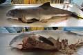 Тюлени могут быть опасными для людей и дельфинов