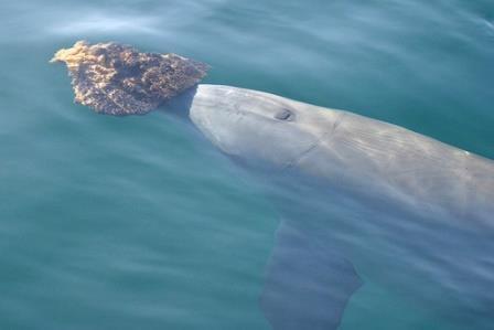 Для поиска пищи дельфины используют «инструменты»