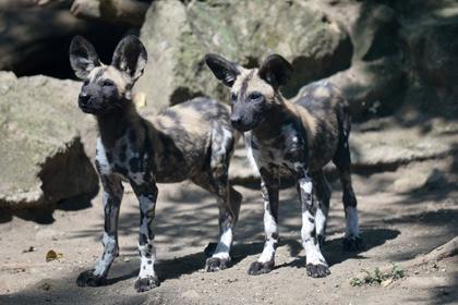Южноафриканские собаки