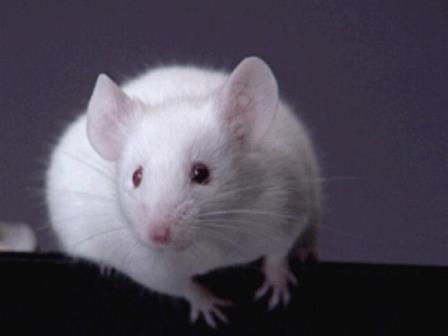 В Гарварде обратили вспять старение у мышей