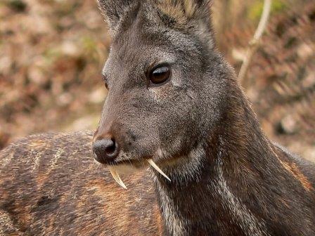 Самец сибирской кабарги - вида, родственного кашмирской кабарге