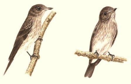 Сулавесийская пестрогрудая мухолока (Muscicapa sodhii)