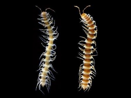 Desmoxytes nodulosa (самец и самка)