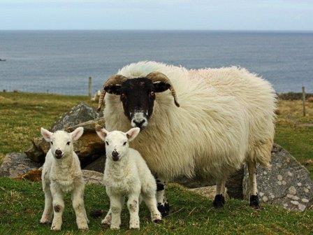 Шотландская черномордая овца