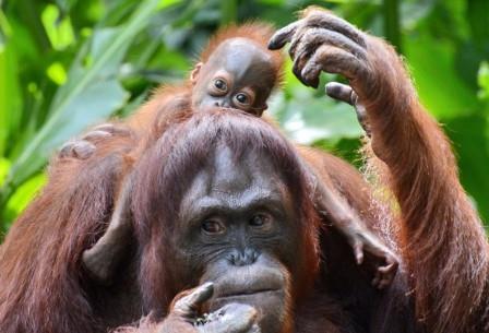 Орангутаны тоже обладают ферментом ADH4