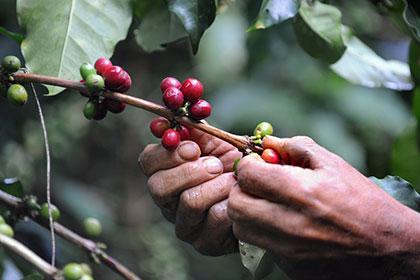 Сбор зерен кофе