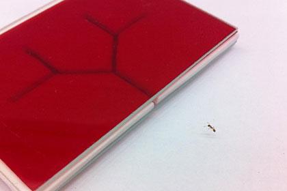 Чем объясняется левосторонняя ориентированность муравьев