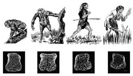 Плотность губчатого вещества в костях запястья у разных приматов