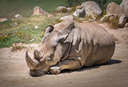 Носорог по кличке Ангалифу