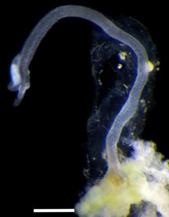 Самец Osedax priapus