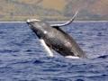 Горбатый кит © Wikimedia Commons