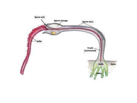 Строение червя Osedax priapus
