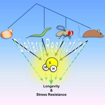 Чтобы синтезировать цистеин, организм заимствует серу у метионина