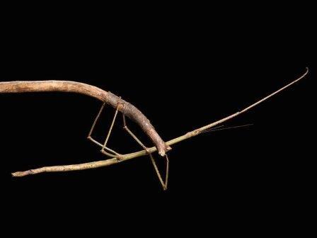 Phryganistria heusii yentuensis