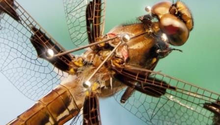 Стрекозы предугадывают траекторию полета своей жертвы