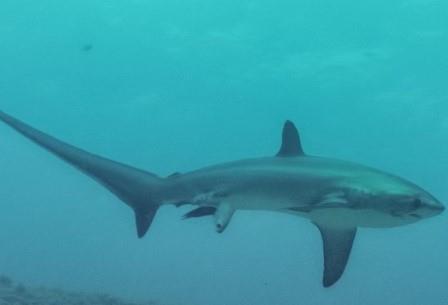 Пелагическая лисья акула
