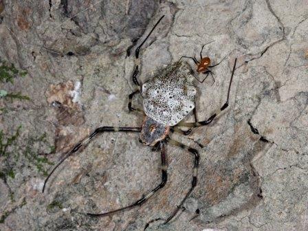 Самка и самец Herennia multipuncta