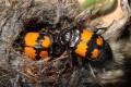Биологи объяснили гомосексуальное поведение жуков