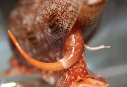 Улитки-конусы — опасные хищники