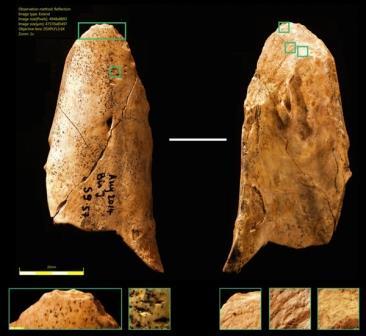 Неандертальцы не только пользовались простейшими каменными орудиями труда, но и изготавливали костяные инструменты