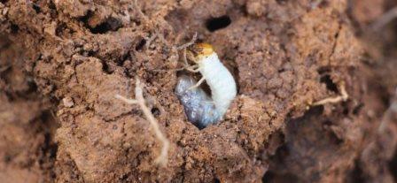 Личинка Leucothyreus suturalis в гнезде термитов