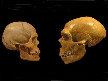 Череп современного человека и череп неандертальца