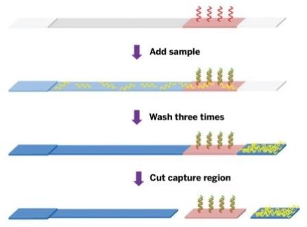 Биоинженеры концентрируют ДНК, поиск которой происходит, на полоске бумаги из нитроцеллюлозы.