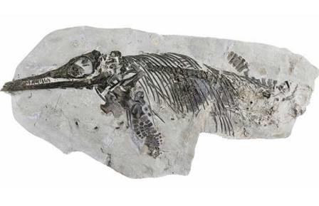 Музейный экспонат оказался новым видом ихтиозавров