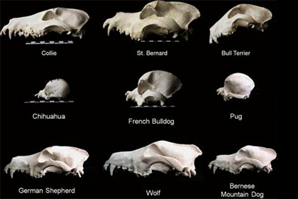 Ученые поставили под сомнение происхождение собак от волков