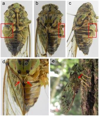 Цикада из рода Karenia