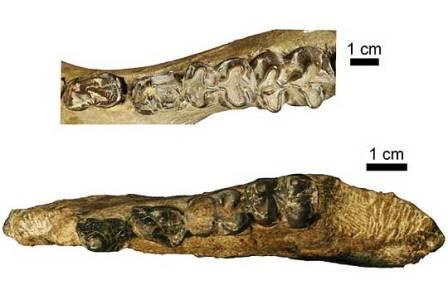 фрагмент челюсти Epirigenys lokonensis