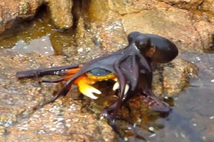 Схватка краба с осьминогом на суше