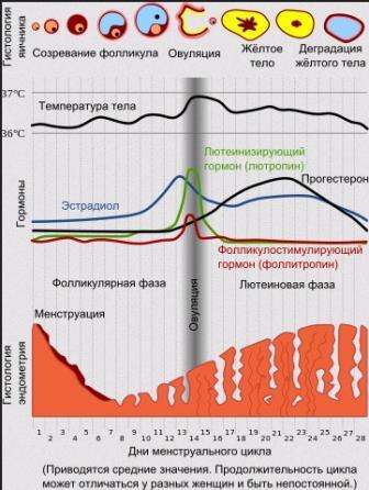 Диаграмма, иллюстрирующая гормональные и гистологические изменения в ходе менструального цикла.