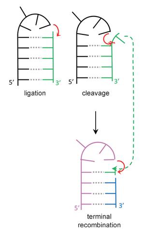 Исследователи предлагают каталитический механизм образования коротких нитей РНК.