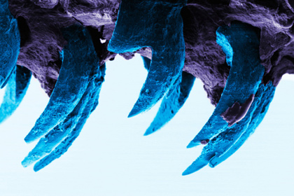 Зубы морских блюдечек