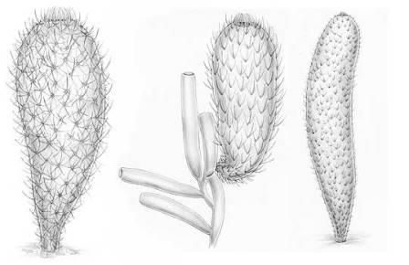 Chancelloria eros, Allonnia tintinopsis и Archiasterella coriacea