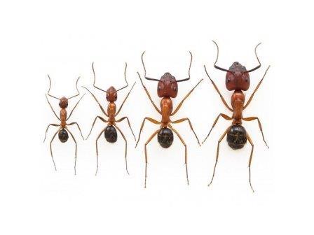 Флоридские муравьи-древоточцы