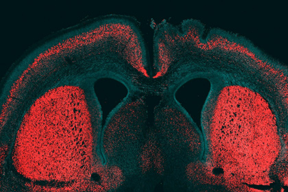 Кора головного мозга мыши