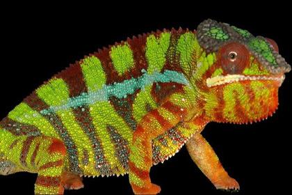 Как хамелеоны меняют цвет