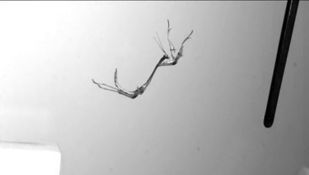 Прыжки быстрейших насекомых в мире впервые сняли на камеру