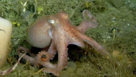 Голубая кровь помогает осьминогу выживать в холодных водах Антарктики