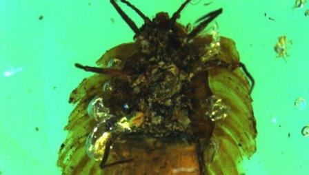 Фотография мезозойской щитовки