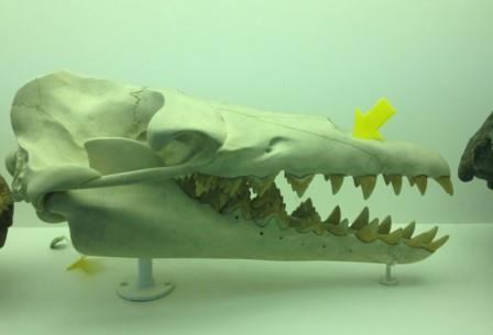 Реконструкция черепа Basilosaurus isis: оцените улыбку