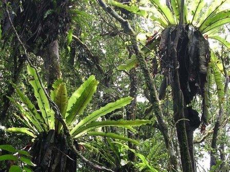 Эпифитные папоротники в тропическом лесу